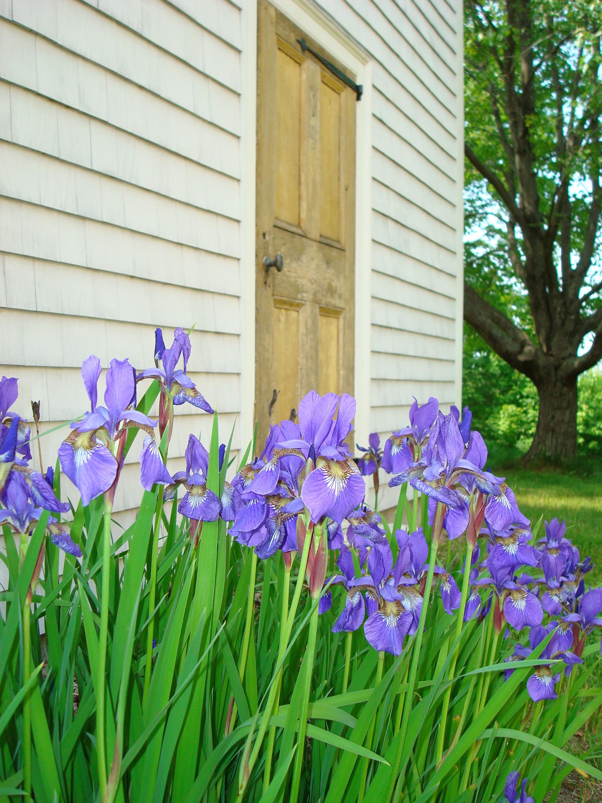 Siberian iris pleasure without work back road journal siberian iris by the antique barn door izmirmasajfo