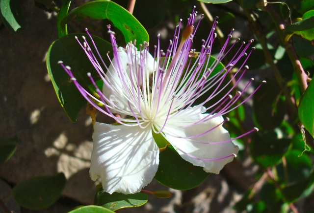 Caper Berry Opened To Beautiful Flower