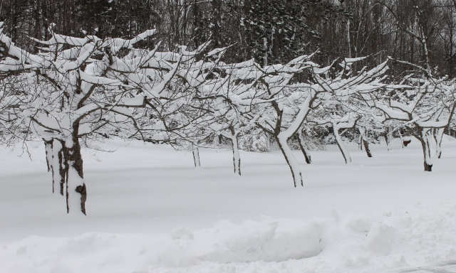 Apple Trees Encased In Snow