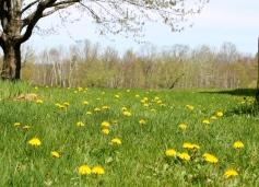 A Carpet Of Dandelions