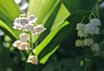 Delicate Lily Of The Valley