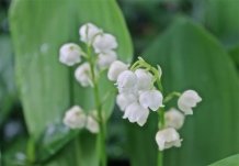 Delicate Bell Shaped Flowers Of The Lily Of The Valley