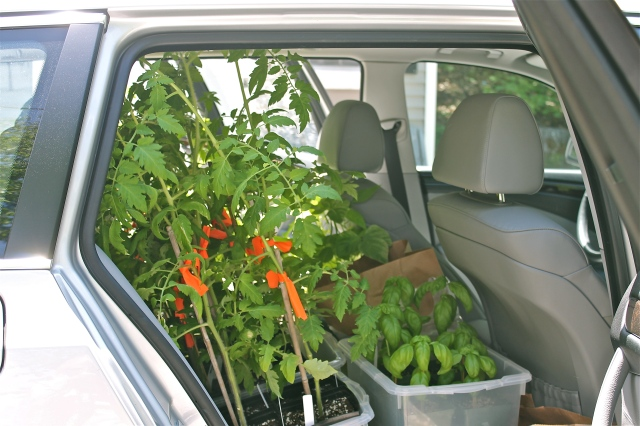 Tomato Plants Buckled In The Backseat With More Headroom