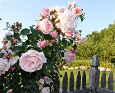 Nothing As Pretty As Roses On The Picket Fence