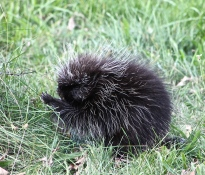 Porcupines Do More Damage To My Orchard Than Any Other Animal