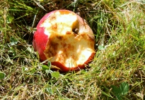 Half Eaten Apple...Which Critter Did It