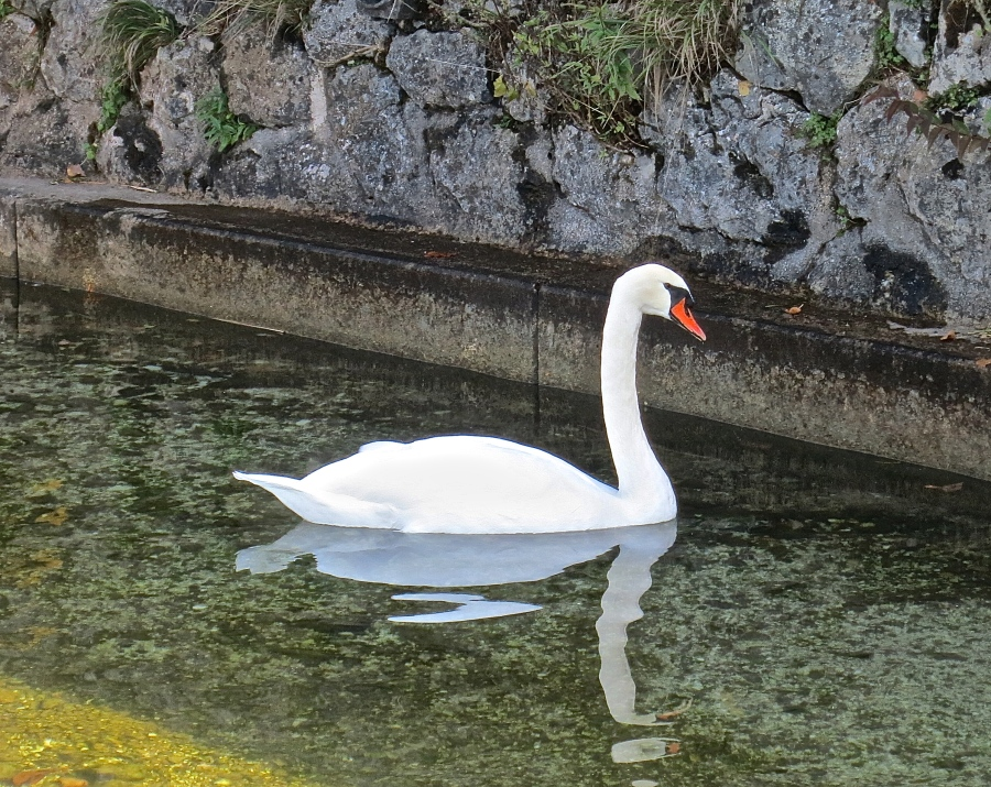 Graceful Swans On Every Lake