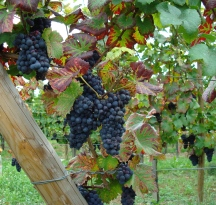 Grapes Ready To Pick