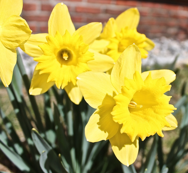 Sunny Yellow Daffodils