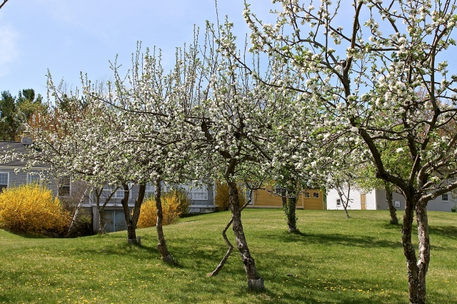 Our Orchard In Bloom