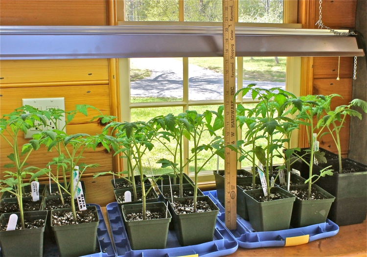 Tomato Plants Growing In The Potting Shed