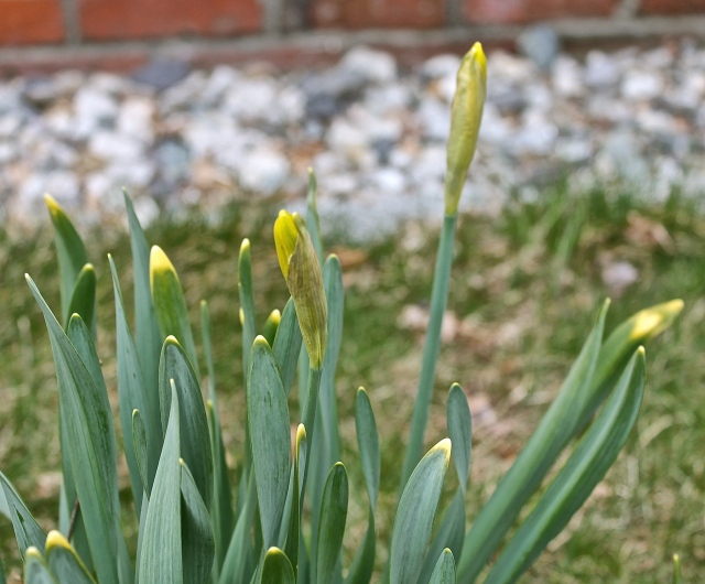 Daffodils Should Be Opening Soon