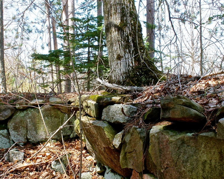 Roots Of Huge Trees Move The Stone Walls