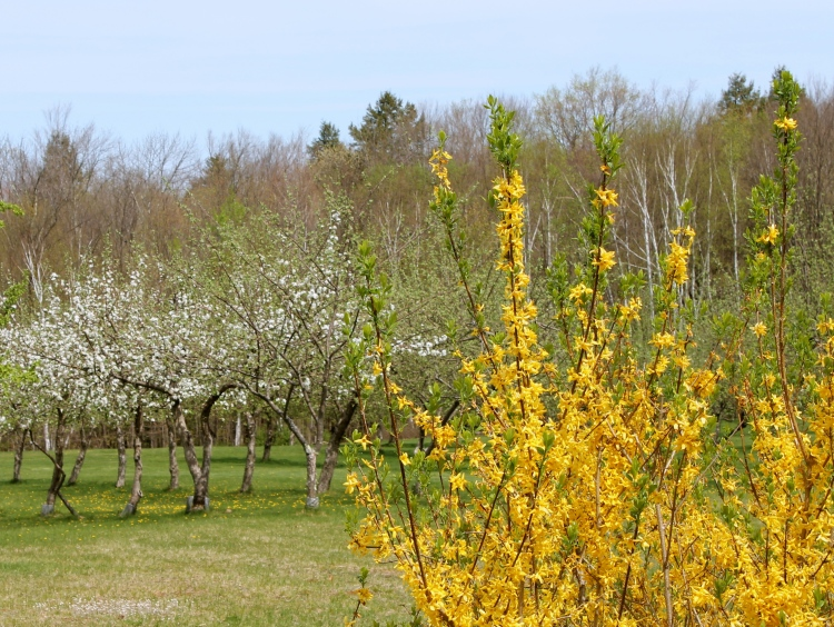 Forsythia Adds Bright Color To The Orchard