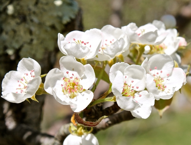 Delicate Blossoms Of A Pear Tree