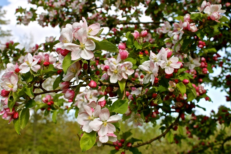 Pink Apple Blossoms Tinged With White
