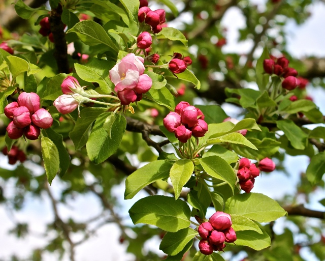 Deep Pink Apple Buds