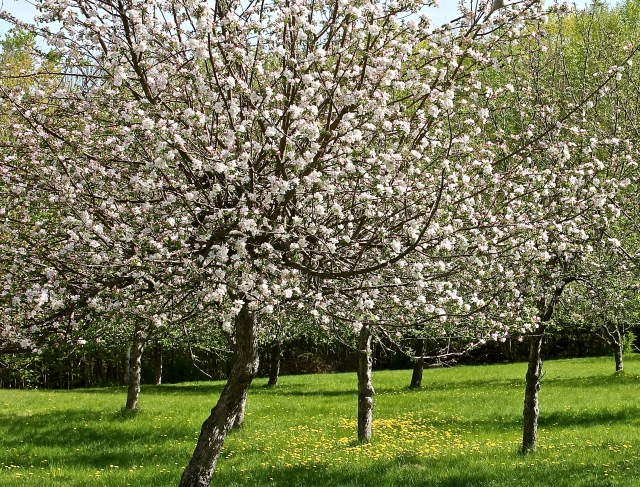 Apple Trees Surrounded By A Carpet Of Grass And Dandelions