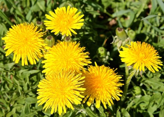 Bright Yellow Dandelions