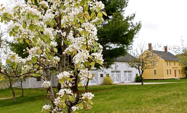 Pear Tree In Full Bloom