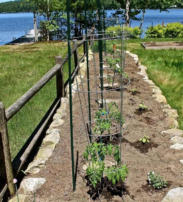 Planting The Tomato Garden