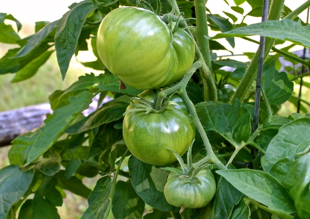 Large Green Tomatoes On Every Pland