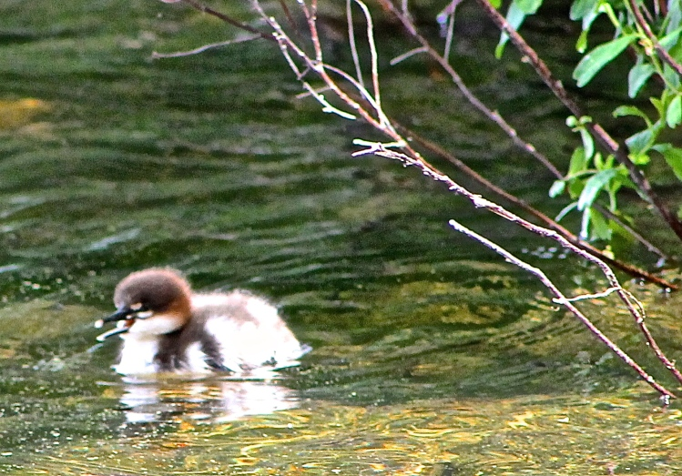 Loon Chick Swimming Near The Shoreline