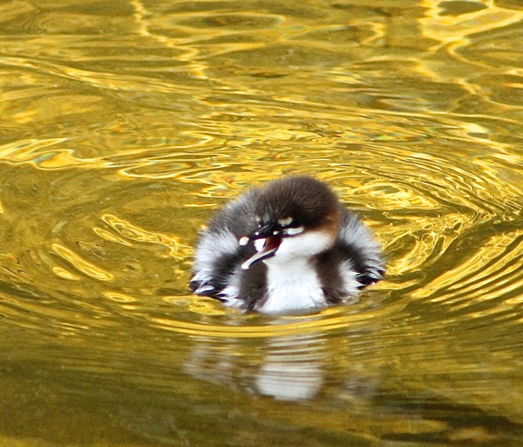 Little Loon Chick Is Nothing But A Fuzzball Floating On The Water