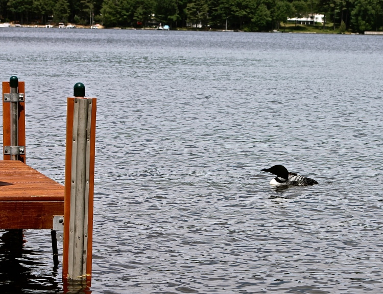 Loon Swimming Off Our Dock