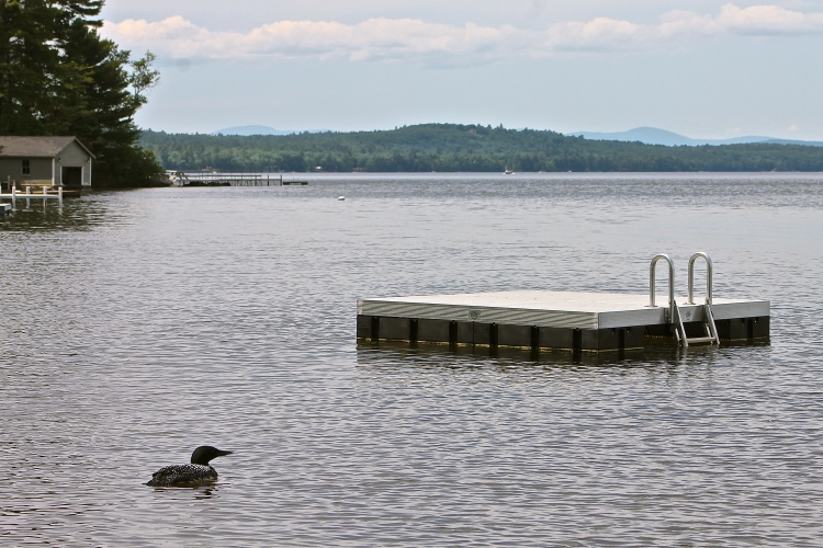 Loon Off Our Dock On Long Lake