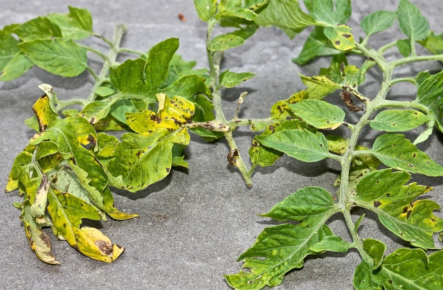 Septoria Leaf Spot On Tomato Leaves