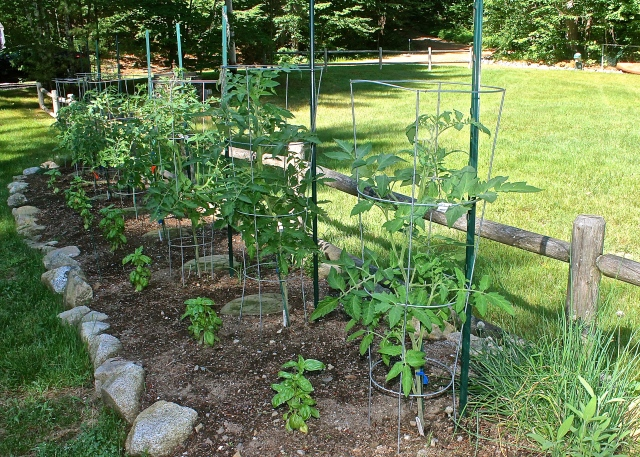 This Year's Tomato Plants In July