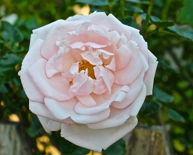 I Love The Soft Look Of A Fully Opened Rose