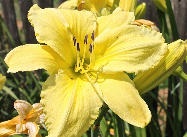 This Lily Blossom Is Huge...Over Six Inches
