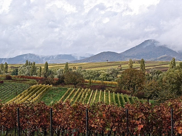 Vineyards Along A Back Road In Alsace