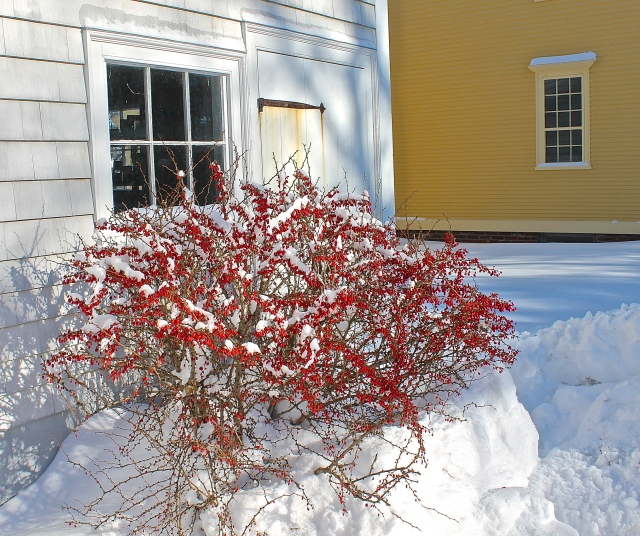 Red Winter Berries Seem To Glow Against The Snow