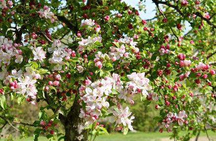 Apple Blossoms As A Sure Sign That Spring Has Arrived