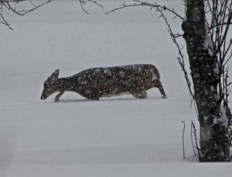 Deer Out In A Snowstorm Looking For Food In Our Orchard