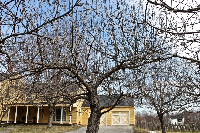 An Apple Tree In Need Of Pruning