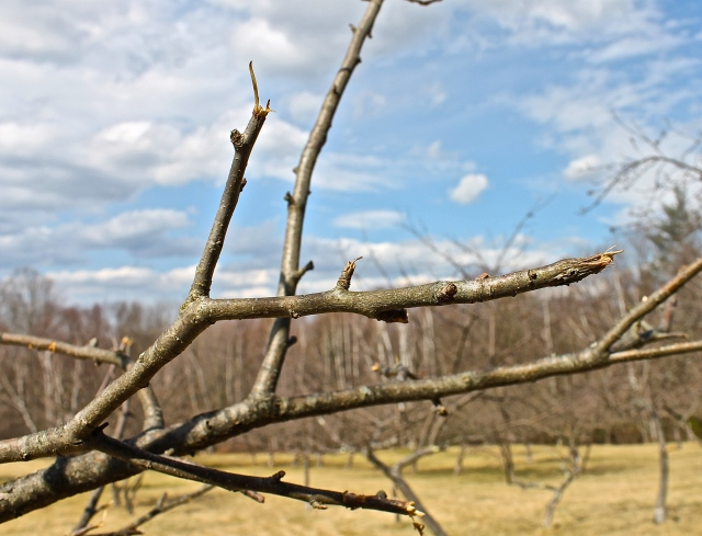 Damage To The Branches Of Apple Trees Caused By Deer