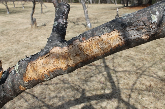 Bark Stripped Off Apple Tree By Deed