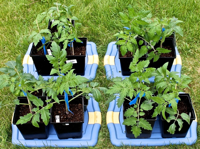 Harden Off The Tomato Plants Outside For Several Hours Each Day BeFore Planting In The Garden