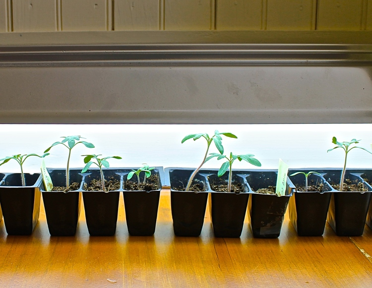Tomato Seedlings Under Florescent Light