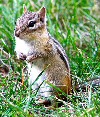 """The Chipmunk We Called """"Bad"""" Loves Cherry Tomatoes"""