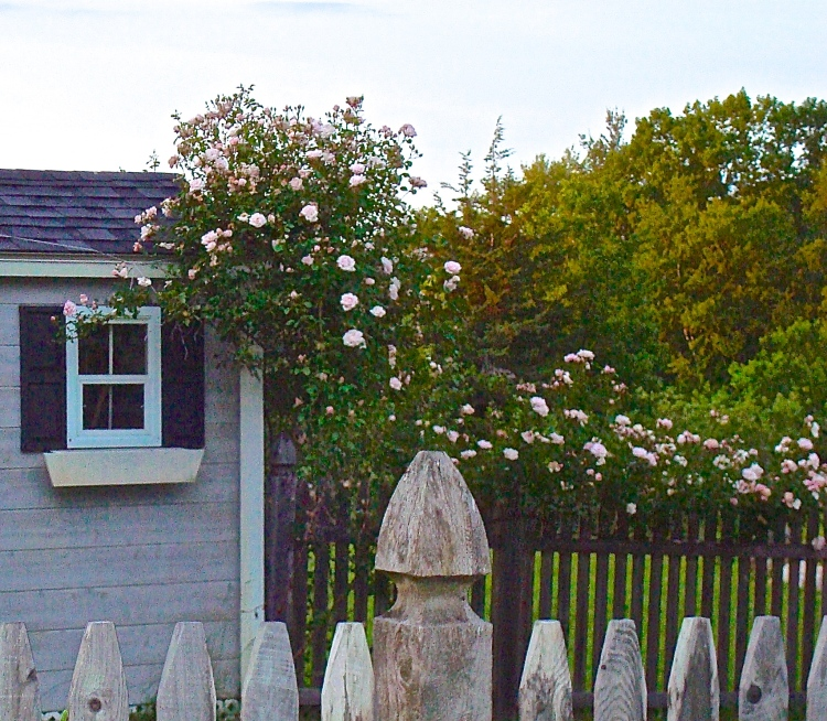 New Dawn Climbing Rose Bush Growing On Garden Shed And Picket Fence