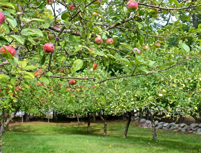 Cortland And Mutzu Apples In Previous Year