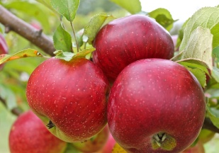 In A Good Year, Big Juicy Apples Are Ready To Start Picking In September