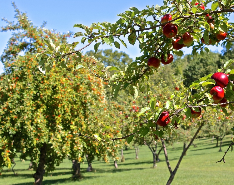In A Good Year The Trees Are Heavy With Apples
