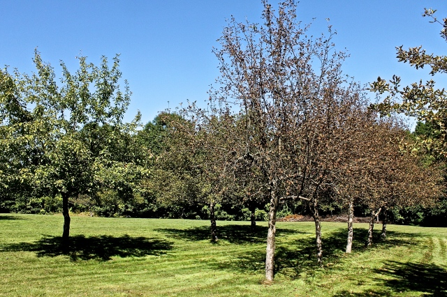 Apple Trees Stressed By The Affects Of Nature Seem  To Be Dying