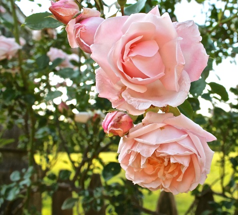 New Dawn Rose Climbing Rose